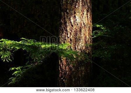 a picture of an exterior Pacific Northwest forest hemlock tree in summer