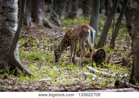The white-tailed deer deep in a boreal forest in northern Quebec, Canada.