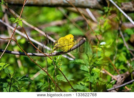 Yellow Warbler female. In summer, the buttery yellow males sing their sweet whistled song from willows, wet thickets, and roadsides across almost all of North America.