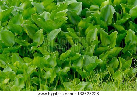 water hyacinth background :a free-floating tropical American water plant that has been introduced elsewhere as an ornamental and in some warmer regions has become a serious weed of waterways.