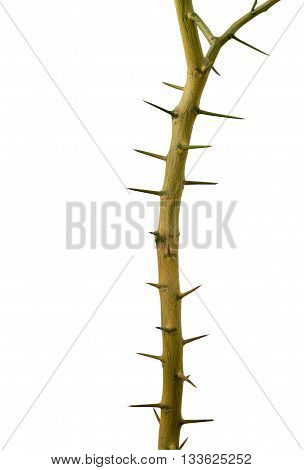 thorn treea stiff sharp-pointed straight or curved woody projection on the stem or other part of a plant.