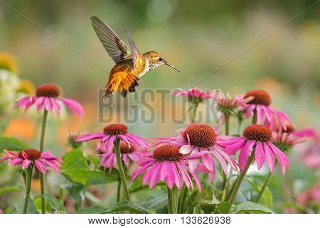 Rufous Hummingbird flying against tropical flowers background
