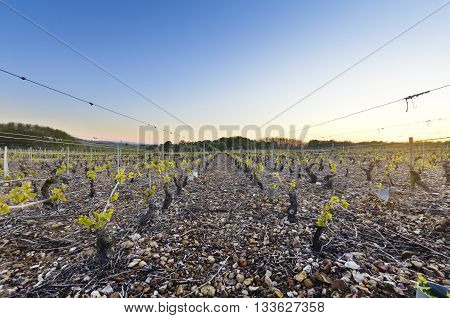 Young Vineyards Of Beaujolais At Dawn, Burgundy, France