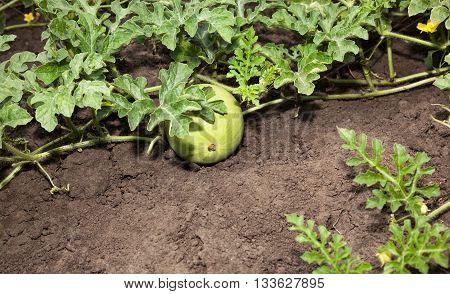 Growing Watermelon