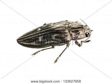 Big Borer Beetle