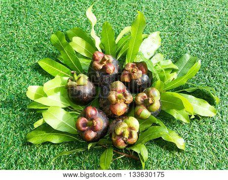 group Mangosteen on grass, fruit of thailand