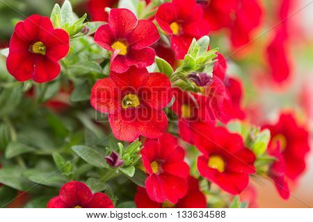Red Million Bells Flower