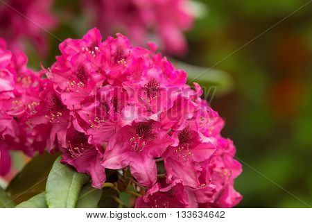 Pink Azaleas Blooms With Small Evergreen Leaves
