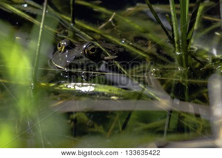 A frog peaks its eyes out of a pond