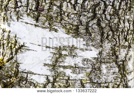 Pattern and structure of a birch tree bark.