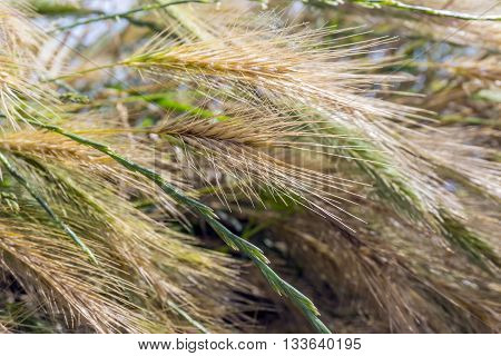 Pennisetum beautiful plants grass and dew with the sunlight