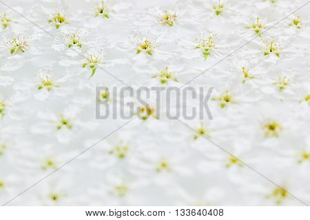 White small flowers on the water. Floral pattern. Wedding spring background. Macro. Bird-cherry.