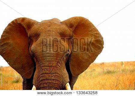 Dusty head of african elephant. Autumn in Kruger park. South Africa. Safari.