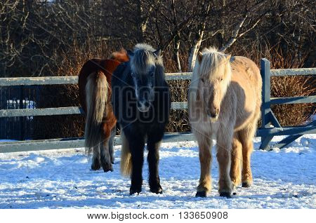 Icelandic horses in an enclosure in Reykjavik