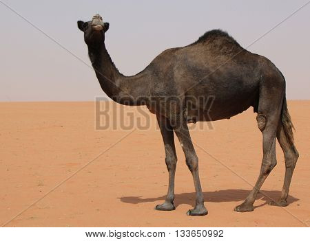 Black single camel in the sand desert