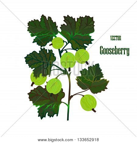 Green gooseberry composition, gooseberry Leaves, gooseberry Vector, berry illustration of Gooseberry branch. Gooseberry Isolated. Bunch of garden berries.