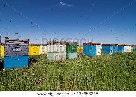 Horizontal front view of a row of colored beehives aligned in a field with bees swarming around