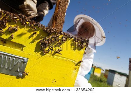 Horizontal front view of a woman beekeeper checking the honeycomb of a beehive with bees swarming around them