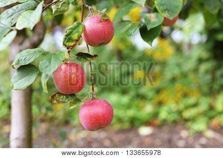 Red big apples on apple tree branch
