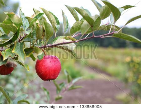 Red Fuji apples on apple tree branch