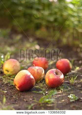 Red ripe apples lying on the ground