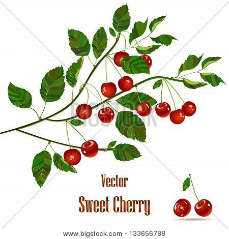 Cherry compositions. Cherry leaves. Cherry vector. Green branch with red cherries. Cherry isolated on white background. Bunch of juicy cherry berries.