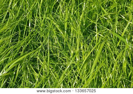 The texture of grass. Background of fresh green juicy grass.