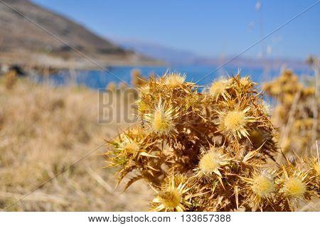 Dried burdock on the shore of the sea. Mediterranean sea the island of Crete. Greece.