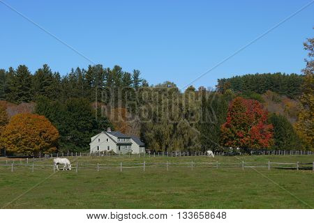 White horses in a field on a Vermont Farm during Fall
