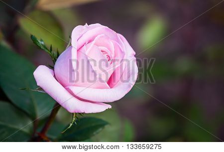 Flowering bush of pink roses. Flower pink rose close up.