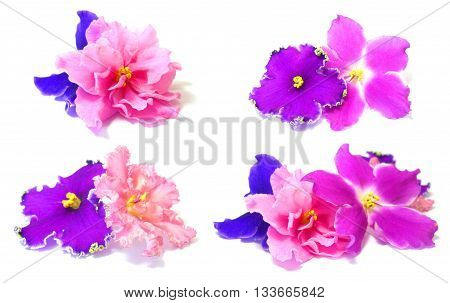 viola perspective fresh delicate flowers and petals isolated on scrapbook background