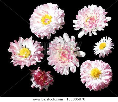 oil draw daisy marguerite flower light liquid bright flower perspective fresh delicate flowers and petals isolated on black background scrapbook paint