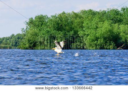 White Pelican (Pelecanus onocrotalus) taking off the lake Danube Delta