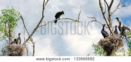 Cormorant nests in a tree and vomiting in Danube Delta