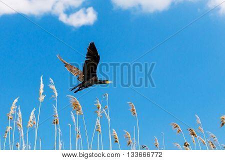 Cormorant (phalacrocorax carbo ) in flight in Danube Delta Romania