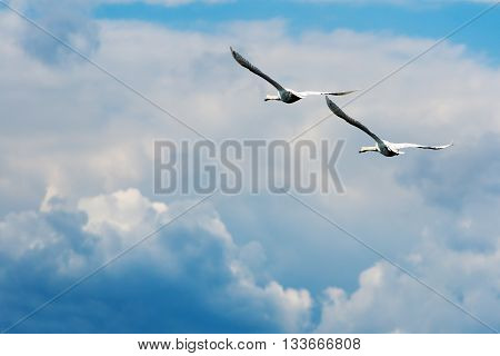 Mute Swans in flight, blue sky with clouds
