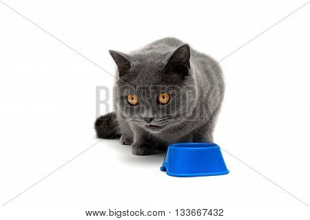 gray cat with yellow eyes isolated on a white background. horizontal photo.