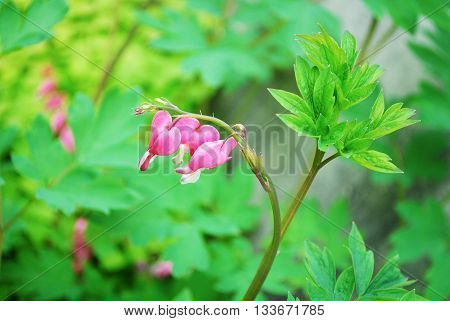 Colorful Bleeding Heart Plant Blooming in Spring