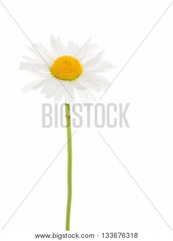 Beautiful flower field daisy with white petals and a delicate bright yellow center on a thin green stalk on a white background isolation