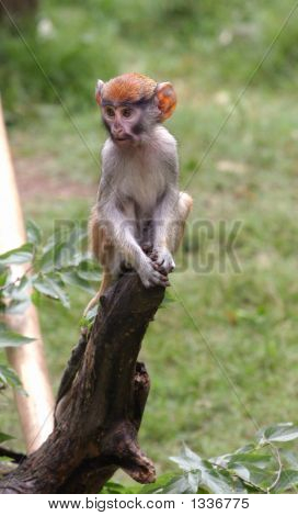 Cute Little Patas Monkey  Baby
