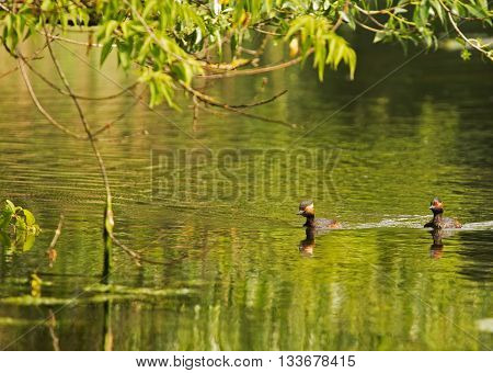 Environmental photo of two male black-necked grebe (Podiceps nigricollis) float on the pond spring morning in Poland. Horizontal view