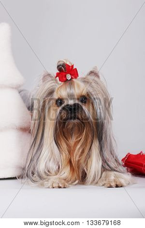 decorative dog Yorkshire Terrier lying next to the Christmas tree