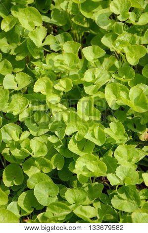 fresh green Centella asiatica plants in nature garden