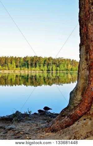 Сосна на берегу красивого озера в окрестностя