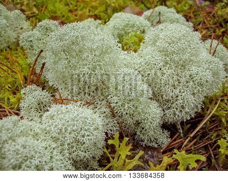White moss lichen reindeer food beautiful lace pattern natural