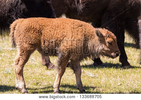 a cute bison calf in a meadow in northern arizona