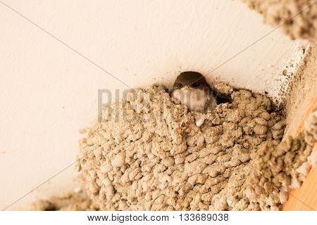 Chick common plane waiting for his mother in the nest