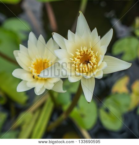 Yellow water lily and green leaf in pond