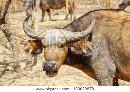 Portrait of a wild buffalo in a national reserve in Senegal.
