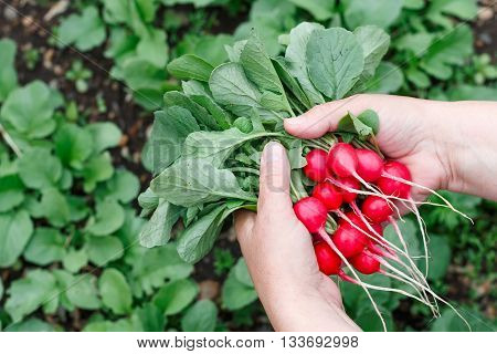 Farmers hands with freshly harvested radish on a background of planted radish